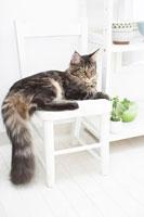 イスの上のネコ(メインクーン)と食器や植物を乗せた台