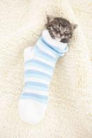 靴下に入って眠る子猫(雑種)