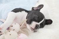 寝ているフレンチブルドッグ