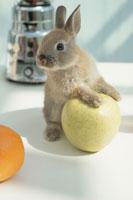 フルーツに手をかけるウサギ(ネザーランドドワーフ)
