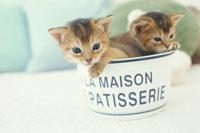 器に入った2匹のネコ(アビシニアン)