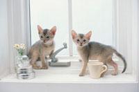 窓際の2匹のネコ(アビシニアン)