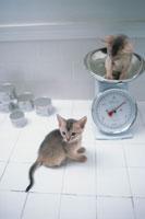 2匹のネコ(アビシニアン)と秤