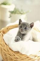 カゴの中のネコ(ロシアンブルー)