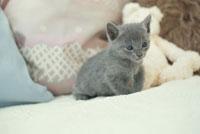 ネコ(ロシアンブルー) 21028009753| 写真素材・ストックフォト・画像・イラスト素材|アマナイメージズ