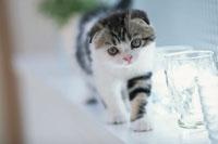 ネコ(スコティッシュフォールド)とグラス