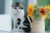 花瓶の横に座るネコ(スコティッシュフォールド)