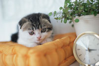 時計と鉢植えのそばで横たわるネコ(スコティッシュフォールド)