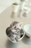 茶碗の中のネコ(雑種)
