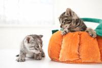 二匹の猫(雑種)とクッション