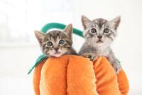 クッションの上の二匹の猫(雑種)
