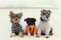 3匹の犬(ミニチュアシュナウザー ヨークシャテリア チワワ)
