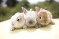 3羽のウサギ