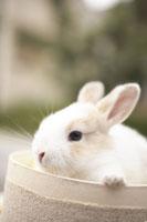 ウサギ 21028010219  写真素材・ストックフォト・画像・イラスト素材 アマナイメージズ