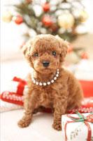 クリスマスプレゼントとトイプードル 21028010877| 写真素材・ストックフォト・画像・イラスト素材|アマナイメージズ