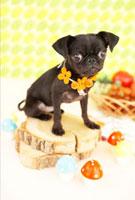 秋の味覚と切り株とパグ 21028010904| 写真素材・ストックフォト・画像・イラスト素材|アマナイメージズ