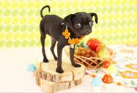 秋の味覚と切り株とパグ 21028010905| 写真素材・ストックフォト・画像・イラスト素材|アマナイメージズ