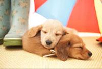 眠るダックスフンド 21028010936  写真素材・ストックフォト・画像・イラスト素材 アマナイメージズ