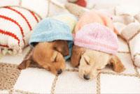眠るダックスフンド 21028010951  写真素材・ストックフォト・画像・イラスト素材 アマナイメージズ