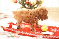 クリスマス飾りとトイプードル