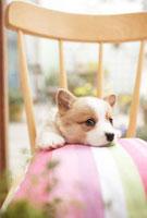椅子のクッションに座るコーギー 21028011210| 写真素材・ストックフォト・画像・イラスト素材|アマナイメージズ