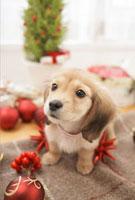 クリスマス飾りとダックスフンド
