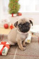 プレゼントとパグ 21028011229D| 写真素材・ストックフォト・画像・イラスト素材|アマナイメージズ