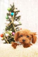 クリスマスツリーとトイプードル