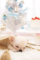 眠るチワワとクリスマス飾り
