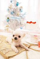 チワワとクリスマス飾り