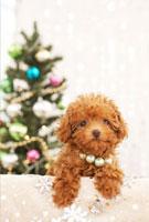 トイプードルとクリスマスツリー