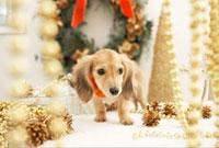 ダックスフンドとクリスマス飾り