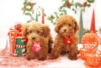 トイプードルとクリスマス飾り
