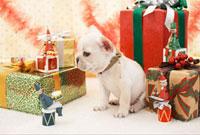 フレンチブルとクリスマス飾り