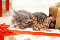 プレゼントの上で眠る猫
