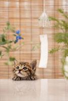 猫と風鈴 21028011477| 写真素材・ストックフォト・画像・イラスト素材|アマナイメージズ