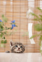 猫と風鈴 21028011478B| 写真素材・ストックフォト・画像・イラスト素材|アマナイメージズ