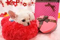 プレゼントとフレンチブルドッグ