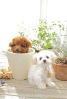植木鉢に入るトイプードルと観葉植物