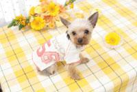 テーブルの上の花と洋服を着たヨークシャーテリア