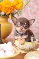 花とカップに入ったチワワ 21028012062| 写真素材・ストックフォト・画像・イラスト素材|アマナイメージズ