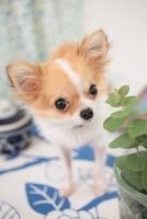 チワワとカップと観葉植物 21028012269| 写真素材・ストックフォト・画像・イラスト素材|アマナイメージズ