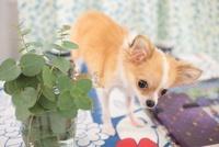 チワワと観葉植物 21028012271| 写真素材・ストックフォト・画像・イラスト素材|アマナイメージズ