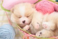 布のバニティーで眠るポメラニアン