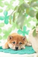 寝転ぶ柴犬と観葉植物