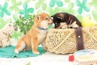 かごに入った柴犬とりんごと観葉植物