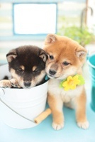 柴犬とバケツ 21028013185| 写真素材・ストックフォト・画像・イラスト素材|アマナイメージズ