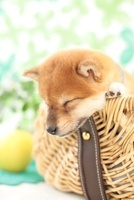かごに入って眠る柴犬