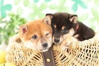かごに入った柴犬 21028013202| 写真素材・ストックフォト・画像・イラスト素材|アマナイメージズ
