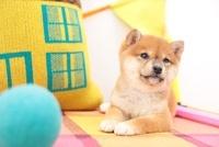 柴犬と家のクッションとカラフルなボール